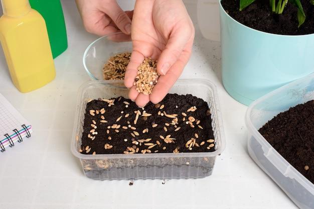 Pflanzen und säen sie samen in pflanzgefäßen zur keimung zu hause. schritt-für-schritt-prozess des pflanzens von samen