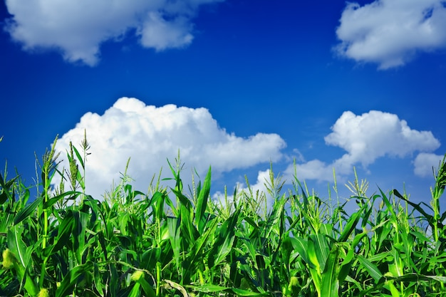 Pflanzen von grünem mais am himmel