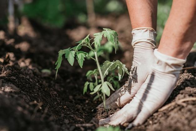 Pflanzen von tomatensämlingen mit den händen eines vorsichtigen bauern in ihrem garten
