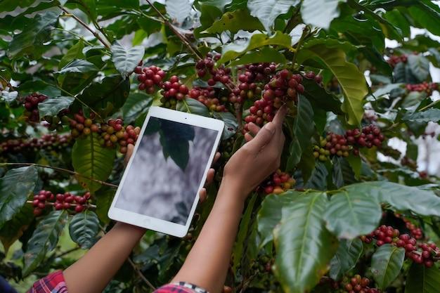 Pflanzenforscher verwenden einen laptop, um wachstumsstatistiken von arabica-kaffee im bezirk mae wang, provinz chiang mai, thailand anzuzeigen.