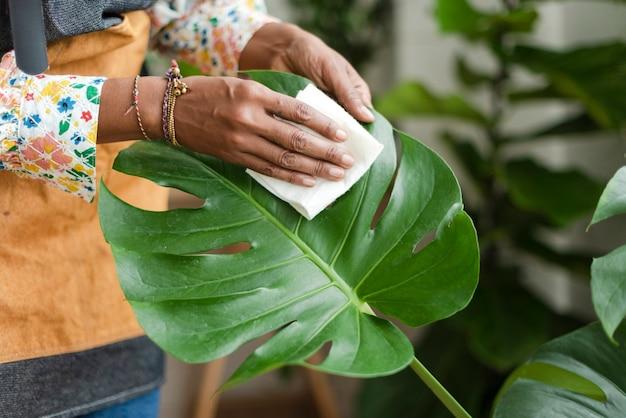 Pflanzenladenbesitzer, der das blatt der topfpflanze reinigt