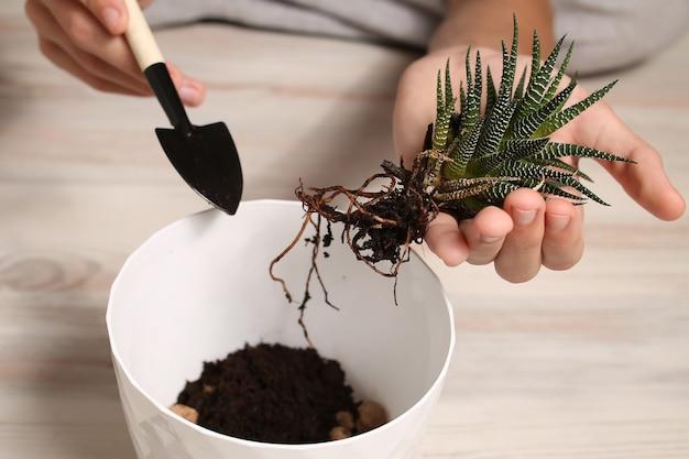 Pflanzenpflanze zum einpflanzen in einen topf.
