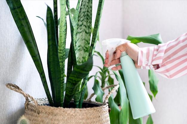 Pflanzenpflege zu hause. pflanzenblätter besprühen. junge frau kümmert sich um zimmerpflanzen