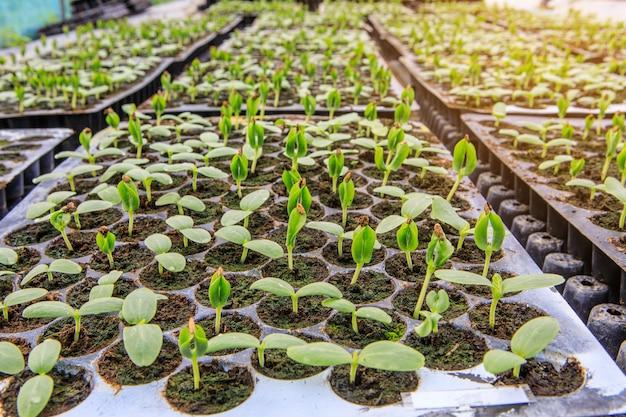 Pflanzenvermehrung mit samen im gewächshaus. landwirtschaft und nahrungsmittelproduktionskonzept.