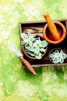 Pflanzenwurzel mit medizinischen eigenschaften