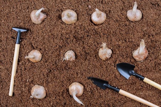 Pflanzung eines herbstlichen safrankrokus in den boden von einem bauern mit gartengeräten