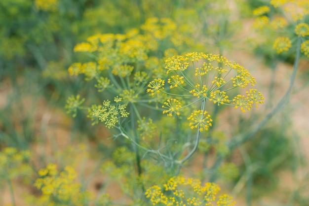 Pflanzung von bio-dill auf einem beet ohne dünger