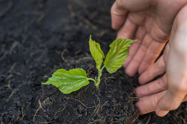 Pflanzung von sämlingen mit händen, öko- und umweltkonzept.