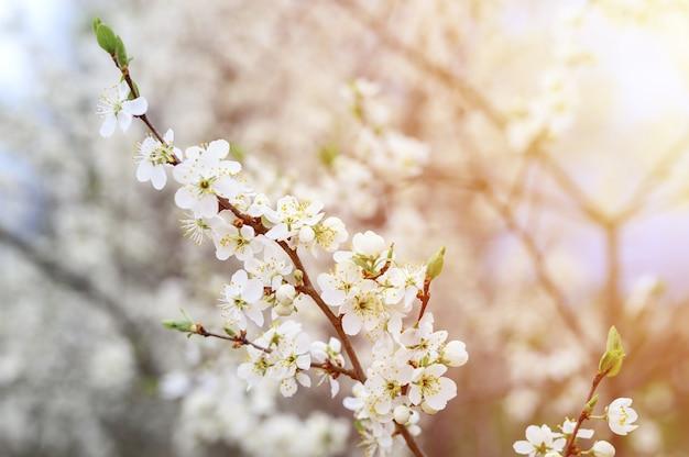 Pflaumen oder pflaumen blühen weiße blüten im zeitigen frühjahr in der natur. selektiver fokus. fackel