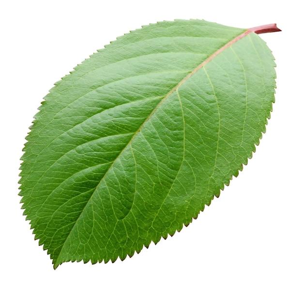 Pflaumenblatt lokalisiert auf weißem hintergrund. ein grünes frisches blatt.