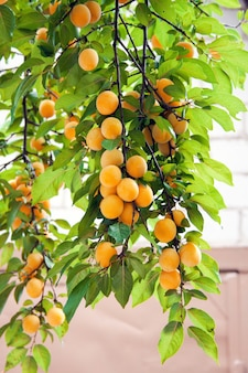 Pflaumenzweige, dicht behangen mit reifen saftigen gelben früchten. gartenarbeit sommer erntetag.