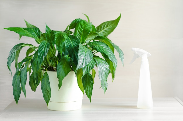 Pflege, bewässerung, besprühen von zimmerpflanzen.