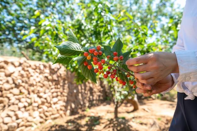 Pflücken von frischen kirschen im obstgarten im freien