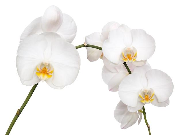 Phalaenopsis amabilis isoliert auf weißem hintergrund