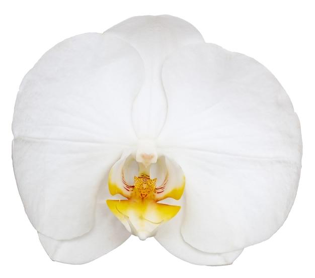 Phalaenopsis amabilis isoliert auf weißem hintergrund.