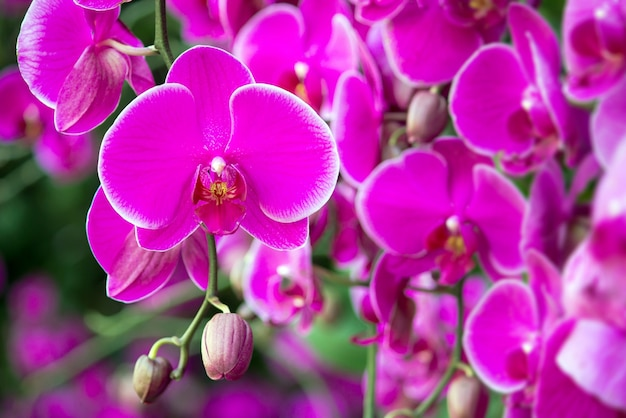 Phalaenopsis orchidee blume