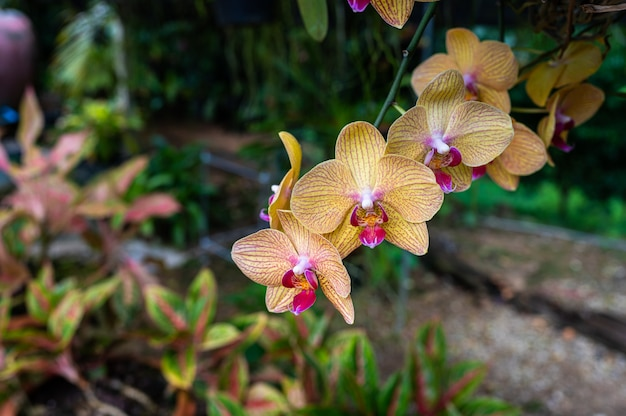 Phalaenopsis-orchideenblumen mit unschärfe von hintergründen