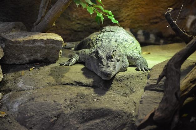 Philippinisches krokodil (crocodylus mindorensis)