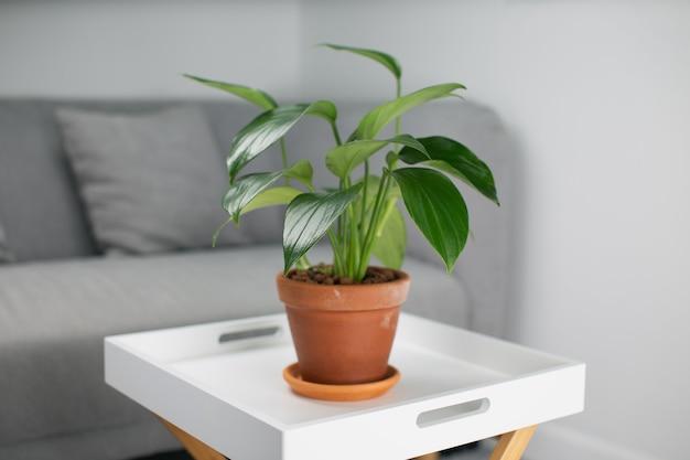 Philodendron drachenschwanz in orangefarbenen tontöpfen im wohnzimmer