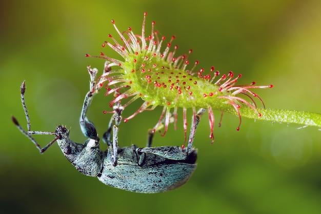 Phyllobius-wanze auf der gefährlichen insektenfressenden drosera madagascariensis-pflanze