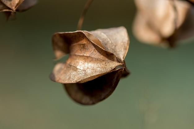 Physalis angulata ist trocken, eine andere art von thailändischem kraut, das auf dem weg gefunden wird.