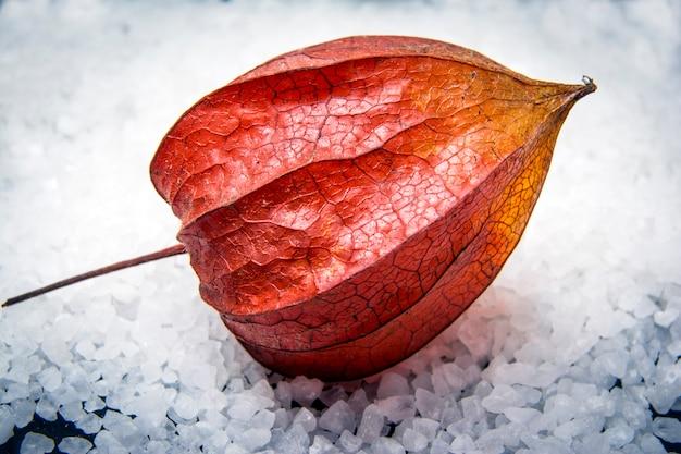 Physalis im schnee. chinesische laternenfrucht (physalis alkekengi) mit der roten schale.