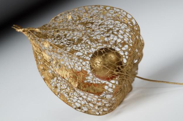 Physalis-skelett in gold lackiert.