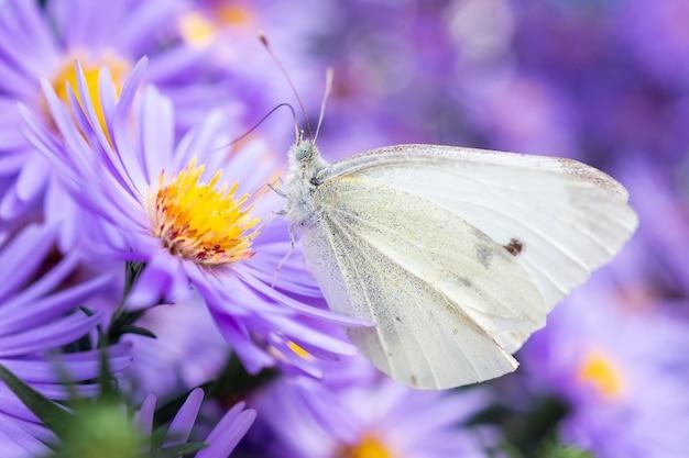 Pieris brassicae, der große weiße, auch kohlschmetterling genannt, kohlweiß ist ein schmetterling aus der familie der pieridae. schmetterling auf septemberblumen
