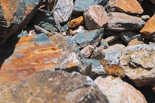 Pika nagetier auf steinen im hochland.