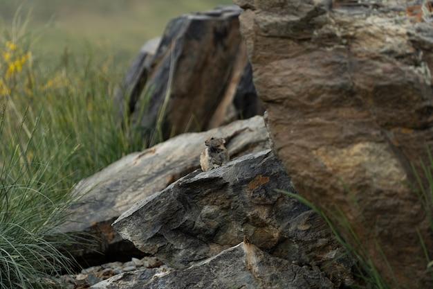 Pika (ochotona princeps) - jasper nationalpark, alberta