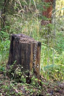 Pilz polyporus squamosus, wächst auf einem baum. polyporaceae.