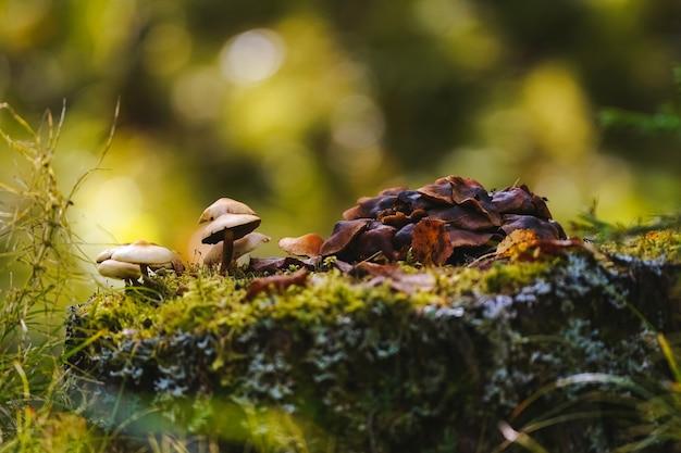 Pilze auf dünnen beinen mit dunkel- und hellbraunen kappen wachsen auf einem bemoosten stumpf