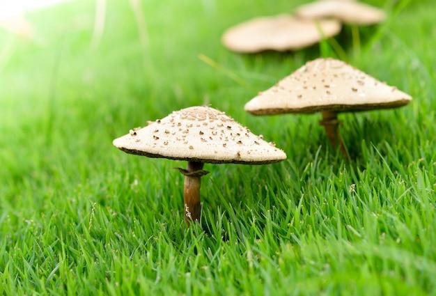Pilze, die im grünen gras wachsen
