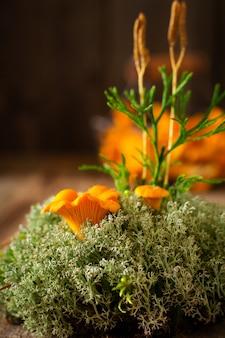 Pilze pfifferlinge in einer eisernen retro-schüssel und waldmoos auf einem alten holzhintergrund. attrappe, lehrmodell, simulation. ansicht von oben.