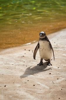 Pinguin manchot