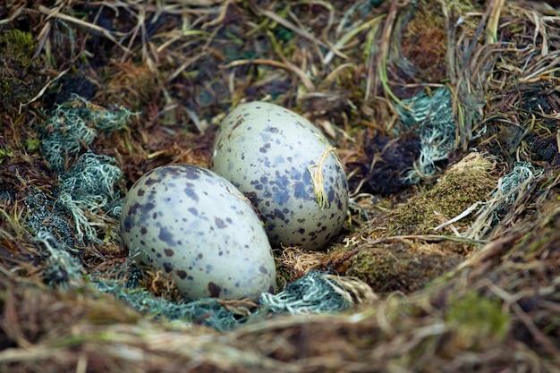 Pinguineier ins nest