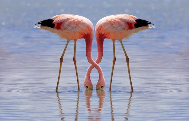 Pink andes flamingo isst in laguna hedionda in potosi, bolivien. altiplano, südamerika.