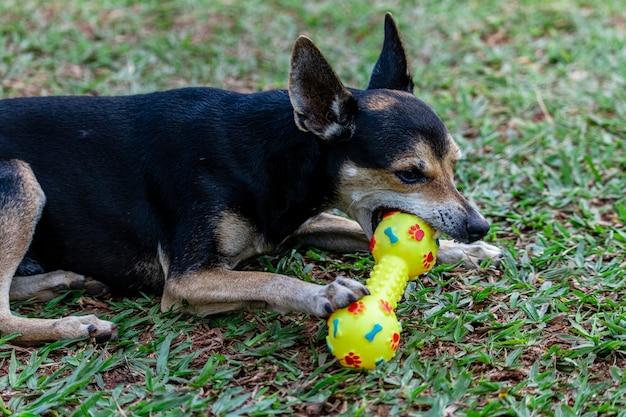 Pinscher hund, der auf gras beißendem spielzeug liegt