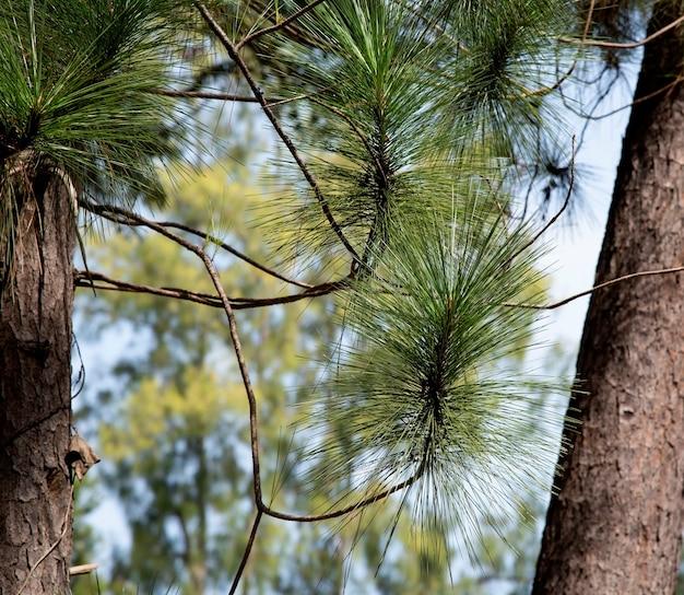 Pinus merkusii