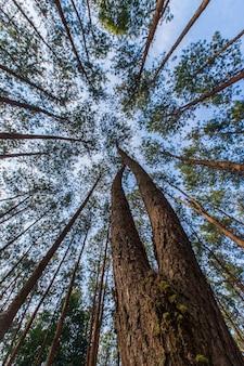 Pinus mugo - es ist auch bekannt als kriechende kiefer, zwerg-latschenkiefer, mugo-kiefer.