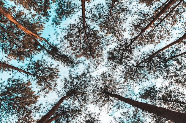 Pinus mugo - es ist auch bekannt als kriechende kiefer, zwerg-latschenkiefer, mugo-kiefer