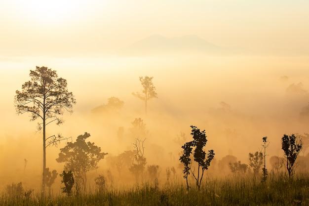 Pinus mugo - es ist auch bekannt als kriechkiefer, zwerggebirgskiefer, mugo-kiefer