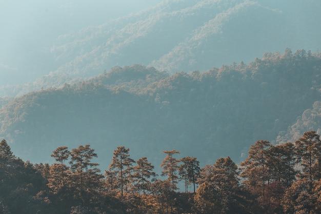 Pinus mugo - es ist auch bekannt als kriechkiefer, zwerggebirgskiefer
