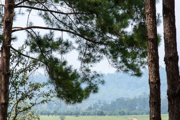 Pinus mugo - es ist auch bekannt als schleichende kiefer, zwergartige kiefer, mugo-kiefer.