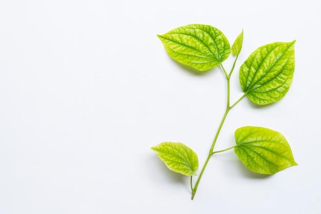 Piper sarmentosum oder wildbetal leafbush auf weiß