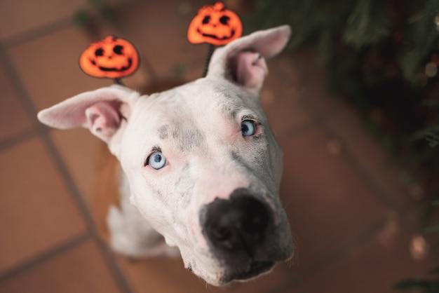 Pit bull american stafford, der halloween-hut trägt