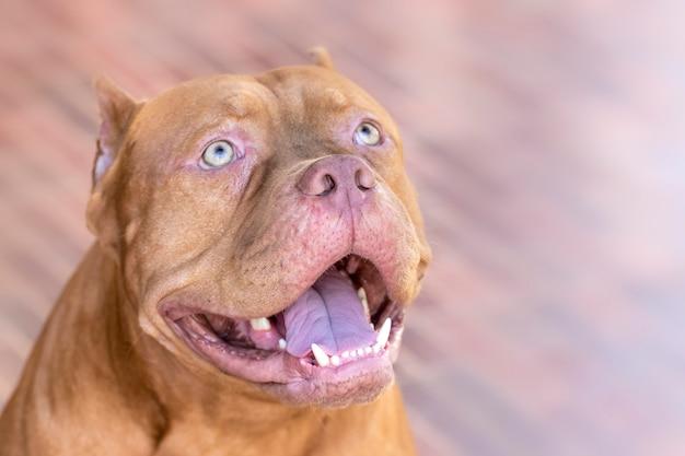 Pitbull dog starrt das opfer mit entschlossenem auge an.