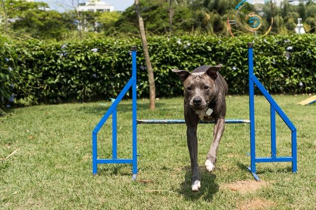Pitbull-hund springt über die hindernisse, während er beweglichkeit übt und im hundepark spielt. hundeplatz mit spielzeug wie rampe und reifen, damit er trainieren kann.