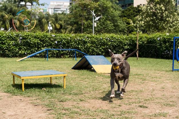 Pitbullhund, der im park spielt. hundeplatz mit spielzeug wie rampe, reifen und hindernissen zum trainieren.