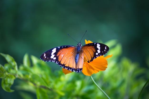 Plain tiger danaus chrysippus schmetterling trinkt nektar die blumenpflanzen